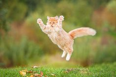 Funny red cat flying in the air in autumn http://ift.tt/2nTWxrk