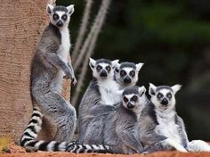 JOHANNESBURG — From giant palm trees to mouse-sized lemurs, unique plants and animals are threatened on Madagascar as political deadlock drags on after a 2009 coup. Animals Of The World, Animals And Pets, Cute Animals, Wild Animals, Primates, Mammals, Especie Animal, Photo Animaliere, National Animal