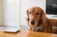 The Golden Retriever Dog wants food. - Royalty-free Animal Stock Photo Dogs Golden Retriever, Retriever Dog, All Animals Images, Feature Film, Photo Illustration, Image Now, Royalty, Stock Photos, Free