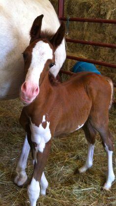 tri coloured horse - Google Search