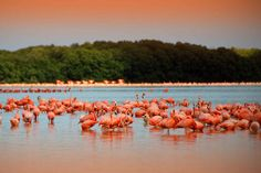 Progreso, Mexico. Huge flamingo colony.