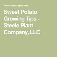Sweet Potato Growing Tips - Steele Plant Company, LLC