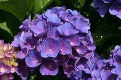 """(I found this while Googling """"how to make pink hydrangeas purple"""") The blogger, Jodi DeLong, said, """"I went and sighed and slobbered and waxed excited over this plant."""" (This gal is definitely my kindred spirit!)"""