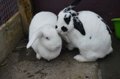 Daphne & Donna, young female bonded pair looking for a new home at Fairly Beloved Rabbit Care.
