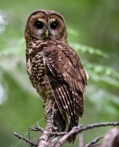 Highly endangered Northern Spotted Owl  by Robin Loznak