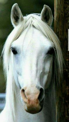 I'm not drawn to white horses But this guy has the most mesmerising eyes. - Katze -Usually I'm not drawn to white horses But this guy has the most mesmerising eyes. Most Beautiful Horses, All The Pretty Horses, Animals Beautiful, Horse Photos, Horse Pictures, Animals And Pets, Cute Animals, Types Of Horses, Majestic Horse