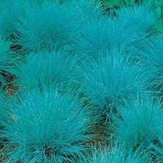 2.5-Quart Blue Fescue (L20132)