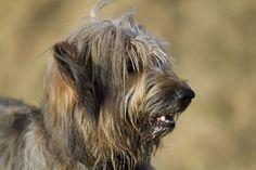 Katalanischer Schäferhund