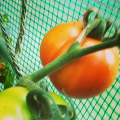 You can bring tomatoes in to ripen indoors if you can't wait any longer... or sit and stare at them for hours taking photos of them. That kind of works too.