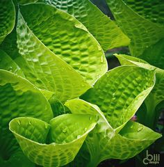 Hosta 'Maui Buttercups'...love this hosta!!