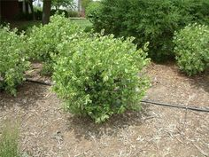 Arctostaphylos manzanita 'Dr. Hurd' - shurb, large 8' and over, dry sunny areas