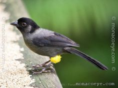 Yellow-thighed Finch, Emberizidae family. Costa Rica/ W Panama