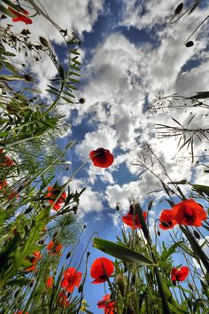 Poppies in the Sky Love Flowers, Wild Flowers, Beautiful Flowers, Beautiful Sky, Pretty Pictures, Mother Nature, Flower Power, Poppies, Nature Photography