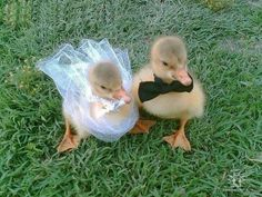 two cute ducklings dressed like newlyweds