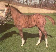 Dunbar's Gold Brindle Foal