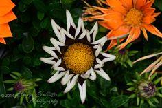 An absolutely stunning flower.