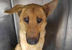 Animal ID	34046627  Species	Dog  Breed	German Shepherd/Mix  Age	2 years 7 months 4 days  Gender	Female  Size	Medium  Color	Golden/Black  Site	Department of Animal Services, City of El Paso  Location	Kennel A  Intake Date	7/2/2017