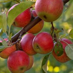 Google Image Result for http://aquietsimplelife.com/wp-content/uploads/2011/07/apples-on-branch.jpg