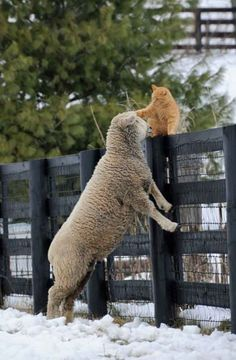 The cat and the sheep, buddies.