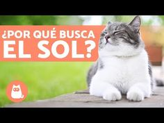 ¿Por qué mi GATO toma el SOL? 😻☀️ (3 Beneficios) - YouTube Cat Sleeping, Youtube, Cat Life, Animal Kingdom, Have Fun, Pets, Animals, Sun Bath, Kitty Cats