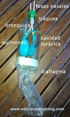 construye un modelo de pulmones