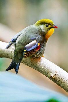 The Tiny Pekin Robin of China