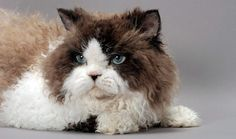 Some breeds of cats are hairless and shorthaired and some are either longhaired or curly.