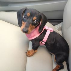 Doxie Princess... by Inspire Me Today