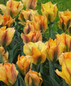 Tulip Golden Artist - Green Tulips - Tulips - Fall 2014 Flower Bulbs