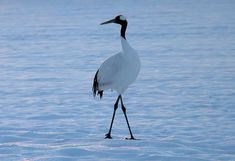 A red crowned crane with water in the background