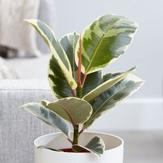 Buy rubber plant ficus elastica tineke: delivery by crocus Photomontage, Trees To Plant, Plant Leaves, Green Leaves, Buy Indoor Plants, Evergreen Vines, Ficus Elastica, Rubber Tree, Spider Plants