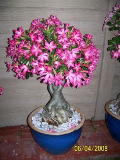 Bonsai in bloom Unusual Flowers, Love Flowers, Beautiful Flowers, Bonsai Plants, Bonsai Trees, Cute Garden Ideas, Desert Rose Plant, Miniature Trees, Cacti And Succulents