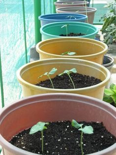 Growing Okra in containers explained step by step with pictures in this post. It explains how to grow Okra in container/pots. Indoor Vegetable Gardening, Home Vegetable Garden, Organic Gardening, Gardening Tips, Urban Gardening, Hydroponic Farming, Hydroponic Growing, Hydroponics, Permaculture