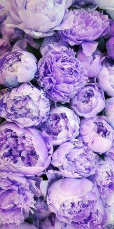 My Week at a Glance Meetings Peonies DIY Shopping Lilac English Roses looks like a Peony // Great Gardens Ideas // I want The post My Week at a Glance Meetings Peonies DIY Shopping appeared first on Easy flowers. Purple Peonies, Purple Flowers, Colorful Roses, Lavender Flowers, White Peonies, Fresh Flowers, Lavender Roses, Peonies Bouquet, Bouquets