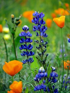 flowers for wildflower bouquet California Wildflowers, California Poppy, Spring Wildflowers, Purple Flowers, Wild Flowers, Beautiful Flowers, Aqua Coral, Poppy Bouquet, Blue Bonnets