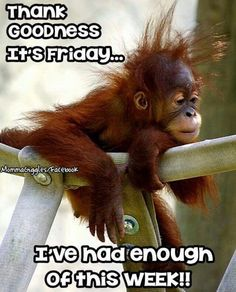 """Baby monkey sadly rested in his cage. Baby monkey told his mother, """"I didn't sleep very well last night. Primates, Cute Baby Animals, Funny Animals, Animals And Pets, Strange Animals, Cute Monkey, Monkey Baby, Its Friday Quotes, Friday Sayings"""