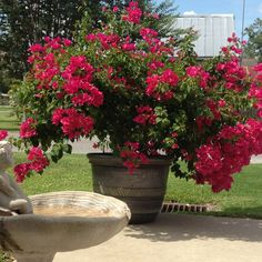 Potted Bougainvillea ~ My Very Own!