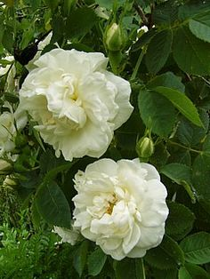 Rosa alba suaveolens (Unknown origin, before 1750)