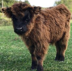 Scottish Highland cows are stealing hearts all across the Internet