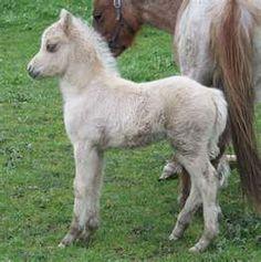 Australian Miniatures & Shetland Ponies. OUR 2008 WELSH FOAL'S HAVE ...