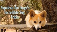 INCREDIBLE DOG TRICKS Performed by Napolean the Corgi