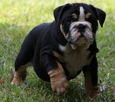 english bulldog colors - Bing Images