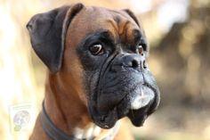 Boxer Dog Breed, Boxer Puppies, Boxer Mix, Beagle Pups, Skye Terrier, Best Guard Dogs, Best Dogs, Great Danes, San Bernardo