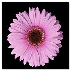 This ready to hang, gallery-wrapped art piece features a pink Gerber daisy. These colorful images of gerber daisies are a great addition to add some color and life to any room! Giclee (jee-clay) is an