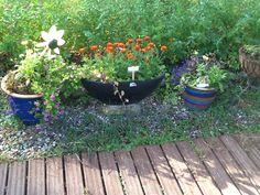 Kesäkukkia ruukuissaan. Samettikukat leviää itsekseen ja kerään niitä pihasta ruukkuun . Näyttävä ja kestävä kukka.tuo muratti on yks haavekukka jota toivoisin saavani kasvamaan luonnossa monivuotisena. Italiassa ja Saksassa se on villikasvi.
