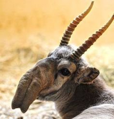 The Saiga Antelope seems to have mated with elephants in the disttant past. Various reasons having to do with dust and warming cold air have been advanced for their appearance.