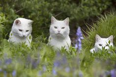 cybergata: Three times a lady by Crazy Cat Lady, Crazy Cats, Cute Cats Photos, Cat Info, Purple Garden, Cat People, Cat Toys, Animal Kingdom, Cats And Kittens