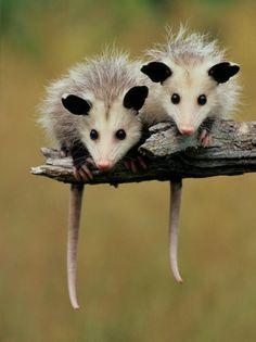 """Opossum of the Day: """"Das heutige Opossum des Tages hat . Opossum of the Day: """"Das heutige Opossum of the Day wurde Ihnen gebracht von: Twins! Cute Creatures, Beautiful Creatures, Animals Beautiful, Woodland Creatures, Cute Baby Animals, Animals And Pets, Funny Animals, Baby Opossum, Baby Skunks"""