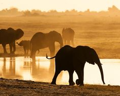 *J* Elephant at water hole, Chobe NP, Botswana    Photo of wild elephants as sunset at Chobe NP, Botswana by P. B. Eleazer