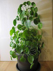 description de pilea peperomioides est originaire des chine les feuilles rondes sont. Black Bedroom Furniture Sets. Home Design Ideas